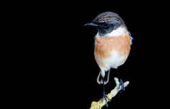 Nice specimen of male Stonechat. With black background Stock Images