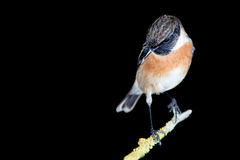 Nice specimen of male Stonechat. With black background Stock Image