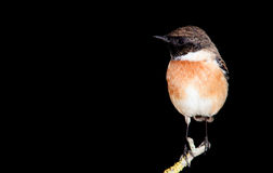 Nice specimen of male Stonechat. With black background Royalty Free Stock Photography
