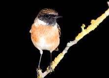 Nice specimen of male Stonechat. With black background Royalty Free Stock Photos