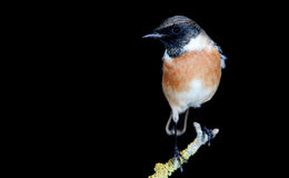 Nice specimen of male Stonechat Stock Image