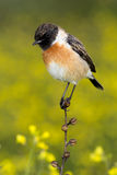 Nice specimen of male Stonechat. With flowered background Royalty Free Stock Photography