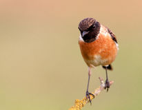 Nice specimen of male Stonechat. With flowered background Stock Photo