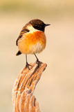 Nice specimen of male Stonechat. With flowered background Stock Photos