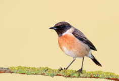 Nice specimen of male Stonechat. With flowered background Stock Images
