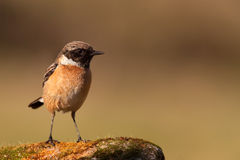 Nice specimen of male Stonechat perched. On a rock filled with moss Royalty Free Stock Images