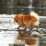 Nice spitz moving in water stock photography