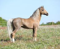 Nice sport pony standing on pasturage Royalty Free Stock Images