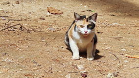 Nice Spotty Cat Sits on Ground Smells Licks Goes away stock video footage