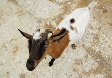 Nice spotty goat very attentively looks from below up Royalty Free Stock Photography