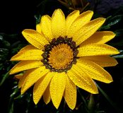 Nice spring flower. Beautiful yellow gerbera in the garden Royalty Free Stock Photography