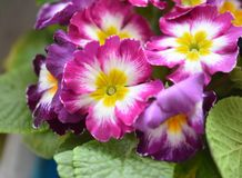 Nice spring flowers. Nice colorful spring flowers in a pot royalty free stock photography