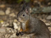 Nice squirrel looking afraid Stock Images
