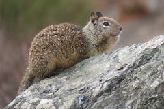 Nice squirrel west coast USA. Nice squirrel saw at stop in pacific valley, california Stock Photo