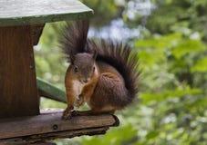 Squirrel portrait. Nice squirrel on a wooden feeder Stock Image