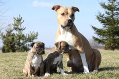 Nice Stafford with puppies sitting in the grass Royalty Free Stock Photos