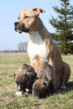 Nice Stafford with puppies sitting in the grass Royalty Free Stock Photography