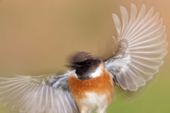 Nice stonechat male with wings in motion Stock Photos