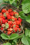 Nice strawberry Stock Images