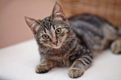 Nice striped domestic kitten. Domestic kitten with yellow eyes Stock Photo