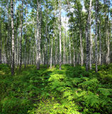 Nice summer birch forest landscape Stock Images