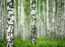 Nice summer birch forest Stock Image