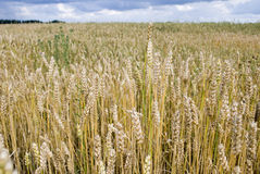 Nice summer field. In village Stock Photography