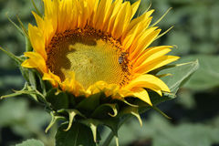 Nice sunflower Royalty Free Stock Photos