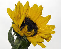 Nice sunflower Royalty Free Stock Images