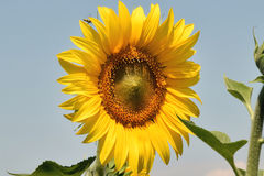 Nice sunflower Royalty Free Stock Image