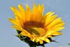 Nice sunflower Stock Photos