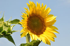 Nice sunflower Royalty Free Stock Photography