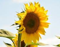 Nice sunflower Stock Photography