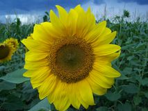 Nice sunflower Stock Images