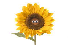 Nice sunflower isolated Royalty Free Stock Images