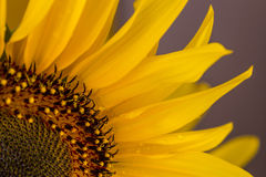Nice sunflower on a purple background Stock Photos