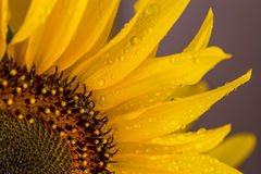 Nice sunflower with rain drops Royalty Free Stock Images