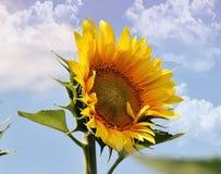 Nice sunflower Stock Photo