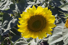 Nice sunflowers close up Stock Photos