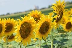 Nice sunflowers Royalty Free Stock Photos