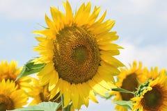Nice sunflowers Royalty Free Stock Image