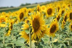 Nice sunflowers Stock Image