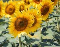 Nice sunflowers Stock Photos