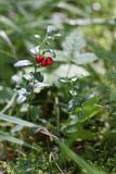 Nice, sunny day in the autumn forest. Ripe red berries lingonberries in the forest royalty free stock image