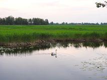 Beautiful swan floating on water, Lithuania Stock Photo