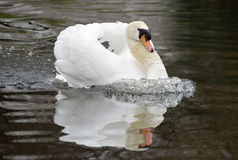Nice swan swimming Stock Images