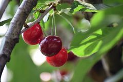 Sweet cherry on the tree in my garden stock photography
