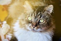 Nice tabby fluffy cat Royalty Free Stock Photo