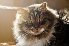 Nice tabby fluffy cat Stock Images