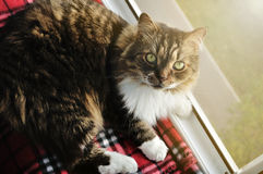 Nice tabby fluffy cat resting on a windowsill Royalty Free Stock Photo